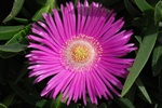 Rd Middagsblomst (Carpobrotus acinaciformis)